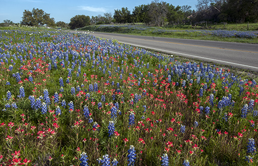 Bluebonnets and Indian paintbrushes line Texas State Highway 71.
